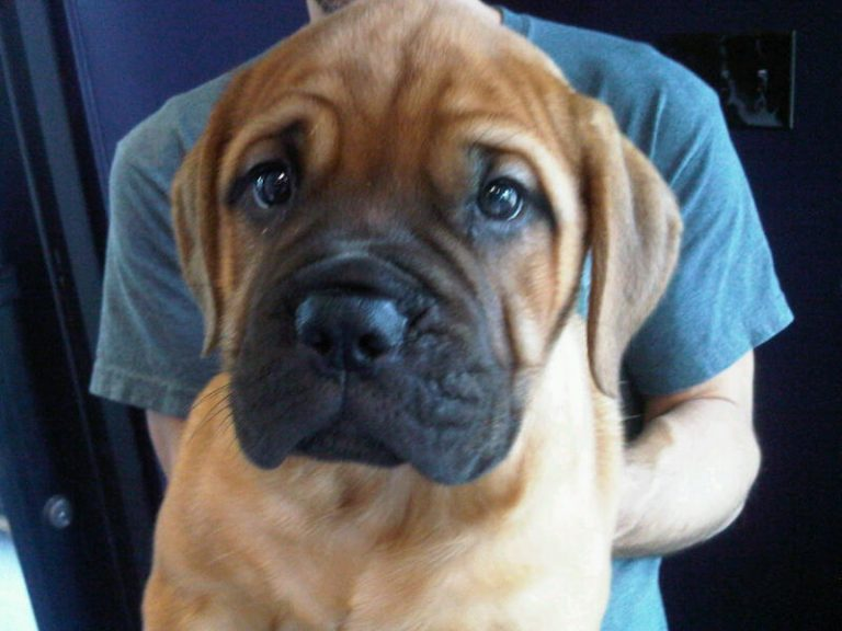 Bullmastiff Puppies for sale | Washington USA